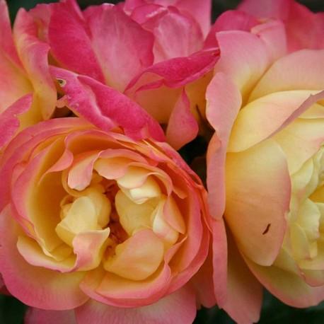 Саженцы розы Лампион