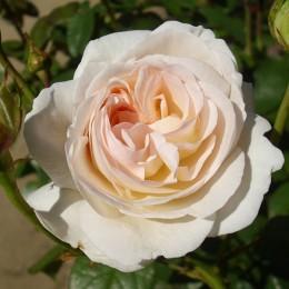 Саженцы розы Лайонз Роуз