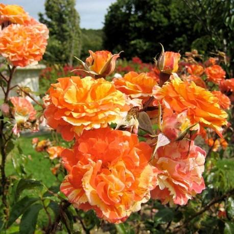 Саженцы розы Оранж Энд Лемон