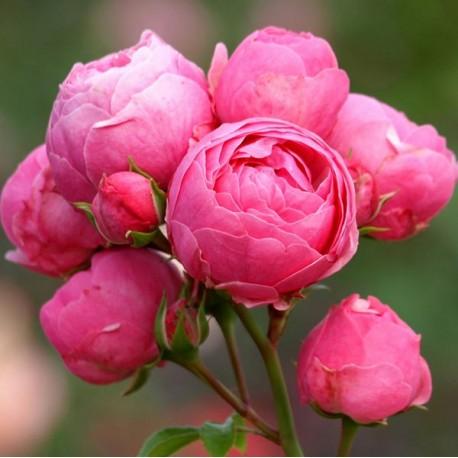 Саженцы розы Помпонелла