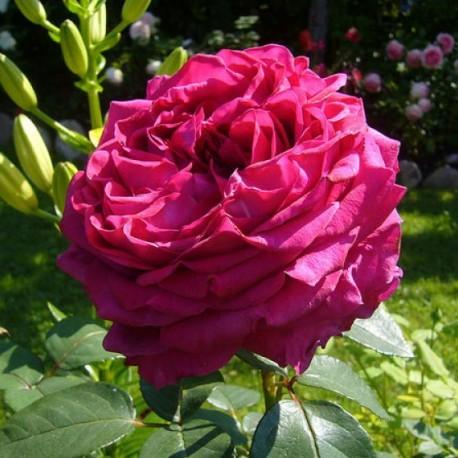 Саженцы розы Ля Роз Де Катр Ван