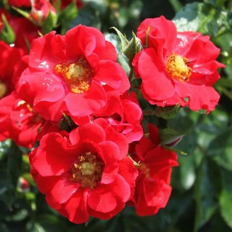 Саженцы розы Альпенглюхен