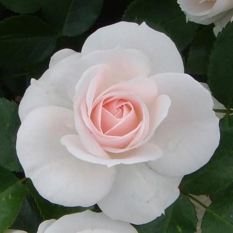 Саженцы розы Аспирин Роуз