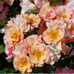 Саженцы розы Джаз