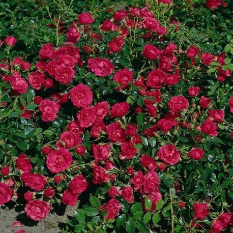 Саженцы розы Роди