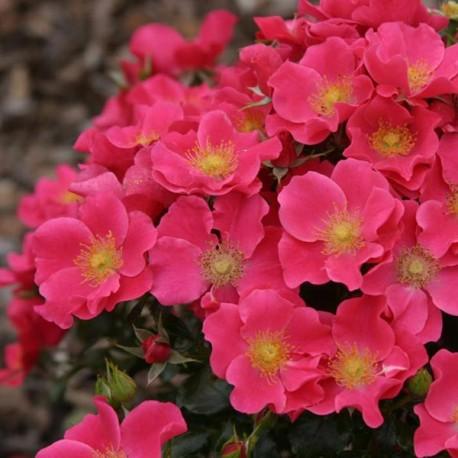 Саженцы розы Штадт Ром
