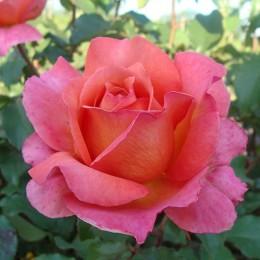 Саженцы розы Альбрехт Дюрер