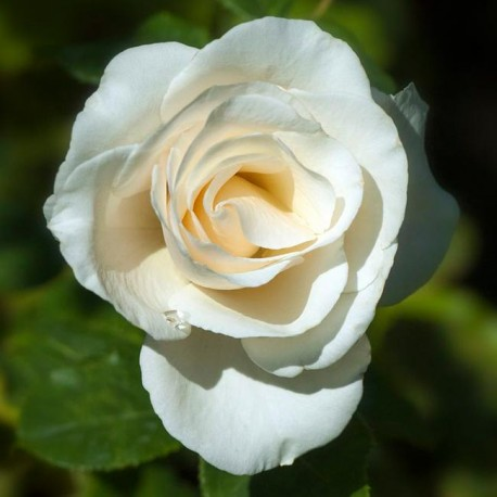 Саженцы розы Анастасия