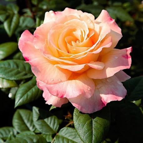 Саженцы розы Акварель