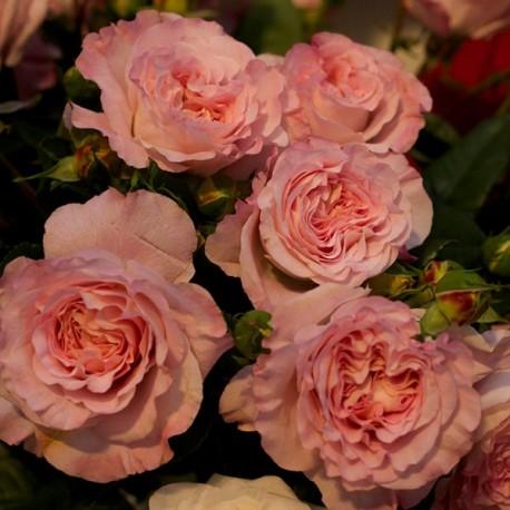 Саженцы розы Августа Луиза
