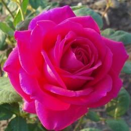 Саженцы розы Биг Перпл