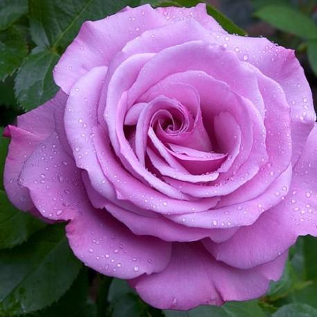 Саженцы розы Блу Нил