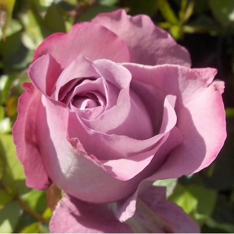 Саженцы розы Блю Парфюм