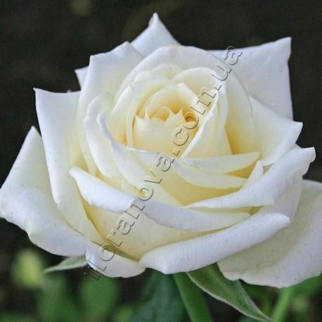 Саженцы розы Боинг