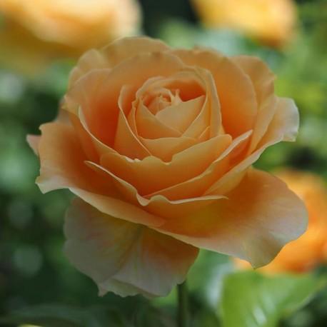 Саженцы розы Кэндллайт