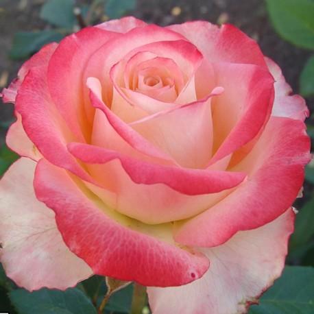 Саженцы розы Карусель