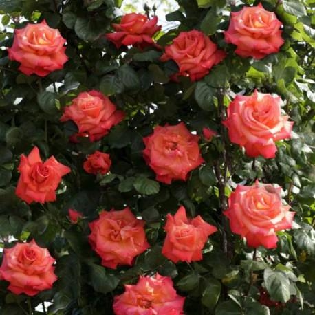 Саженцы розы Христофор Колумб