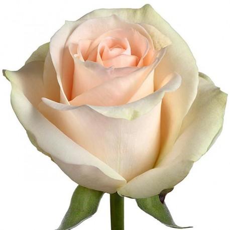 Саженцы розы Клер Оушен