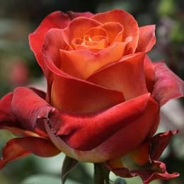 Саженцы розы Кофе Брейк