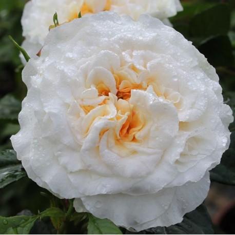 Саженцы розы Комтесса
