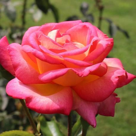 Саженцы розы Дабл Делайт