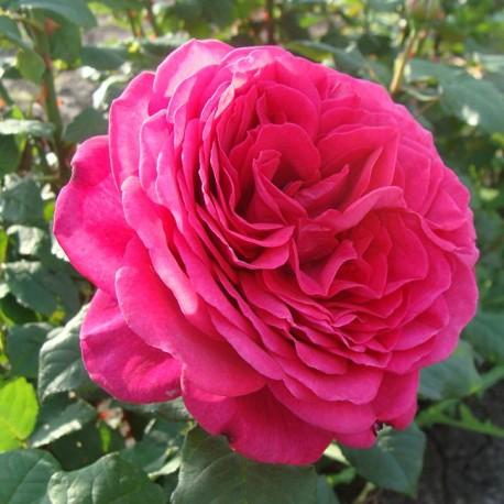 Саженцы розы Дуфтрауш