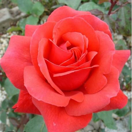 Саженцы розы Дуфтвольке