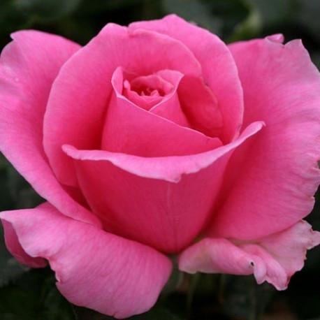 Саженцы розы Эйфель Тауэр