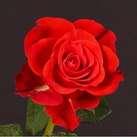 Саженцы розы Эль Торо