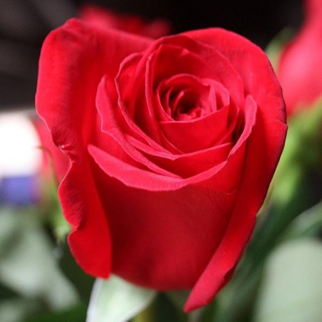 Саженцы розы Фридом