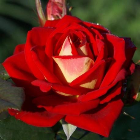 Саженцы розы Френдшип