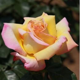 Саженцы розы Глория Дей