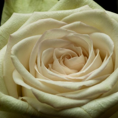 Саженцы розы Грин Фэшн