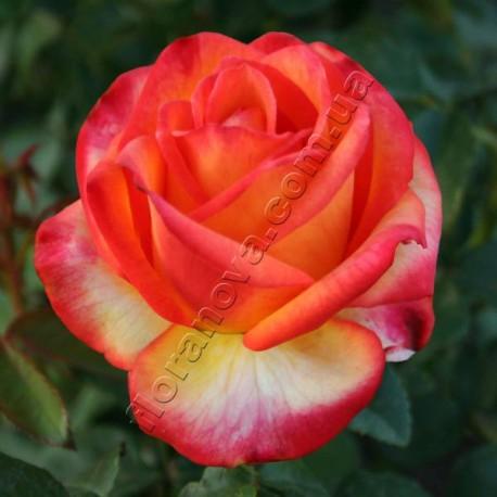 Саженцы розы Хай Лемон