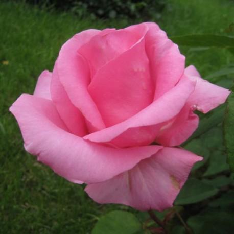 Саженцы розы Жардин Де Вилландри