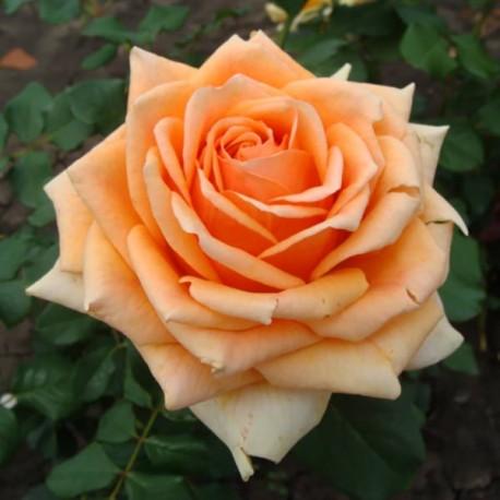 Саженцы розы Кингс Прайд