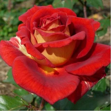 Саженцы розы Клеопатра