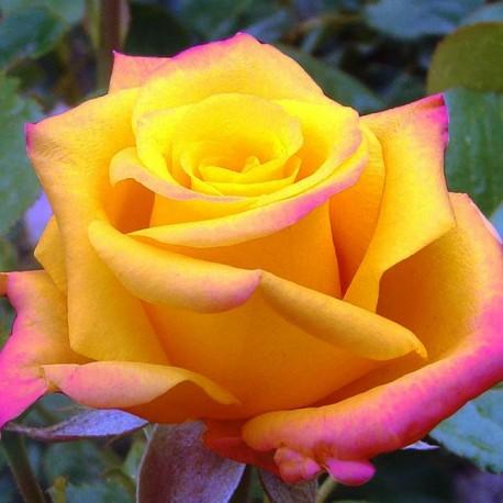 Саженцы розы Конго