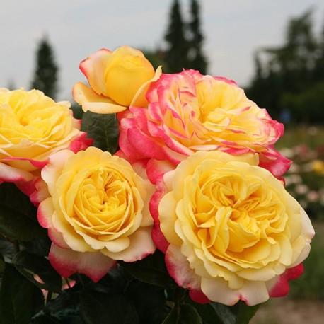 Саженцы розы Кордес Юбилей