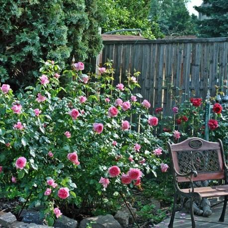 Саженцы розы Ля Роз Де Молинар