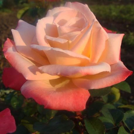 Саженцы розы Летиция Каста