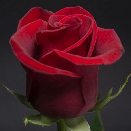 Саженцы розы Лавли Ред