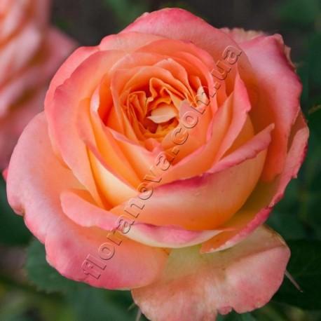 Саженцы розы Лунный Свет