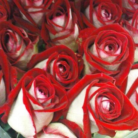Саженцы розы Люксор