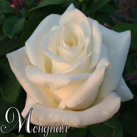 Саженцы розы Мондиаль