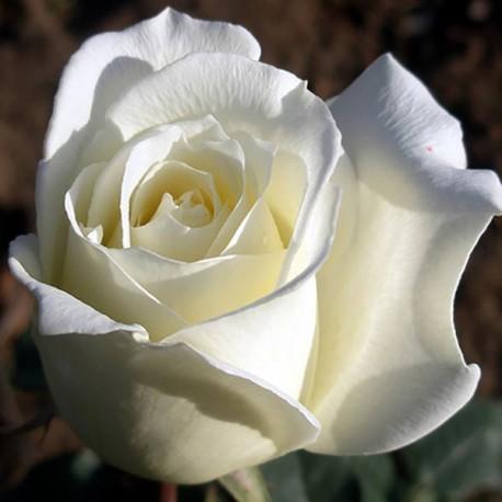 Саженцы розы Маунт Шаста