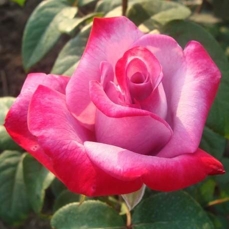 Саженцы розы Парадиз