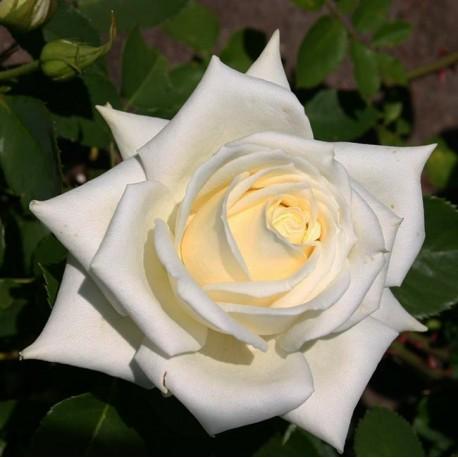 Саженцы розы Полар Стар