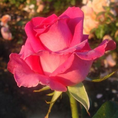 Саженцы розы Равель