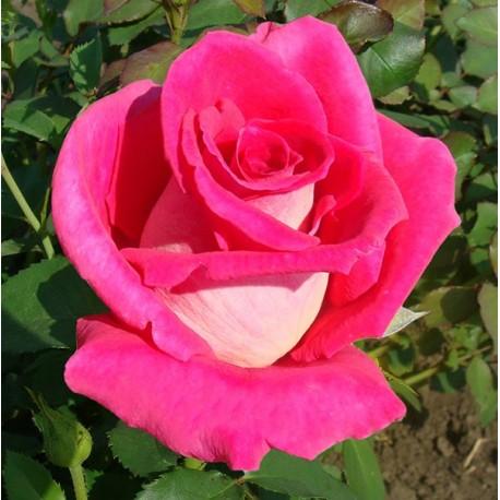 Саженцы розы Шейла